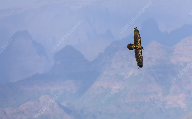 Lammergeier in flight over Simien Mountains, Ethiopia