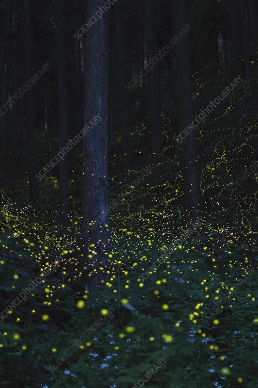 Japanese fireflies in flight at night, Japan