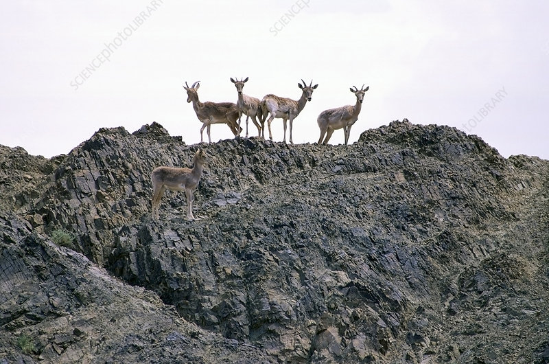 Urial herd standing on rocks