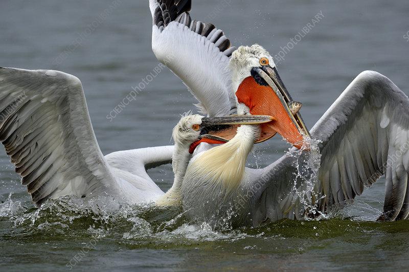 Dalmatian pelicans squabbling over fish