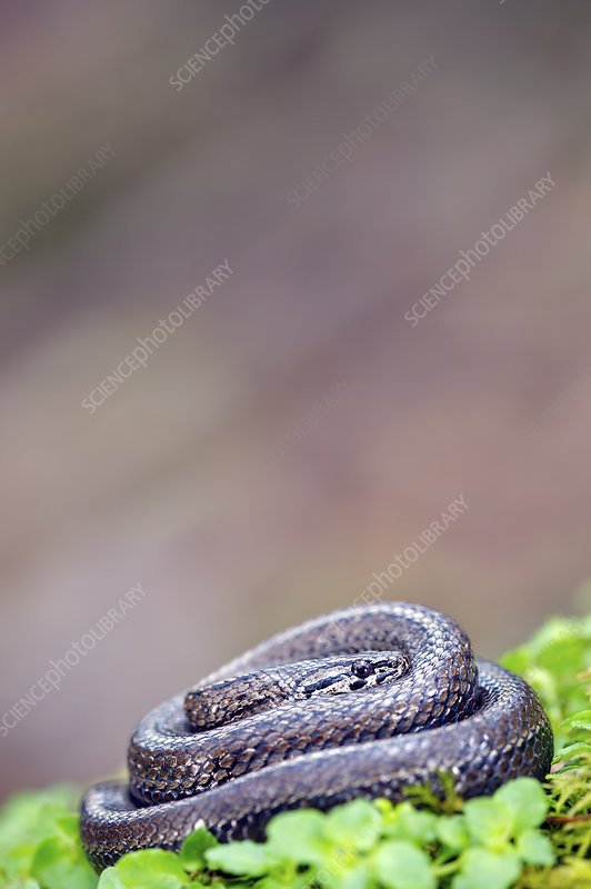 Chilean slender snake