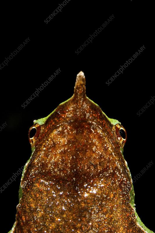 Portrait of a Darwin's Frog