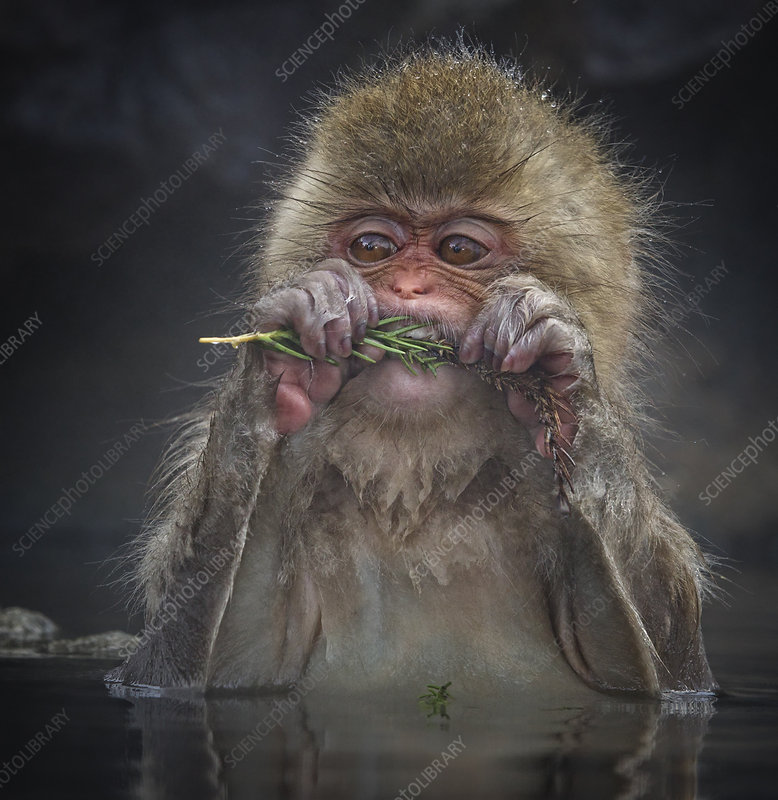 Japanese Macaque biting needles from tree branch
