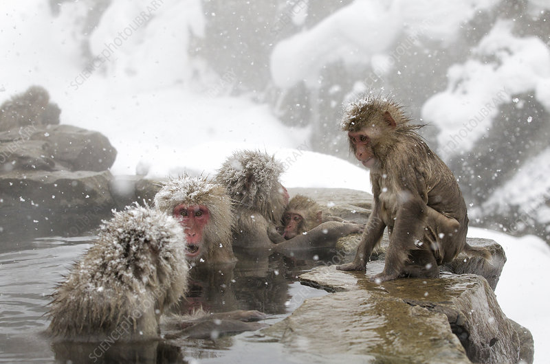 Japanese Macaque females gather at one end of the hot spring