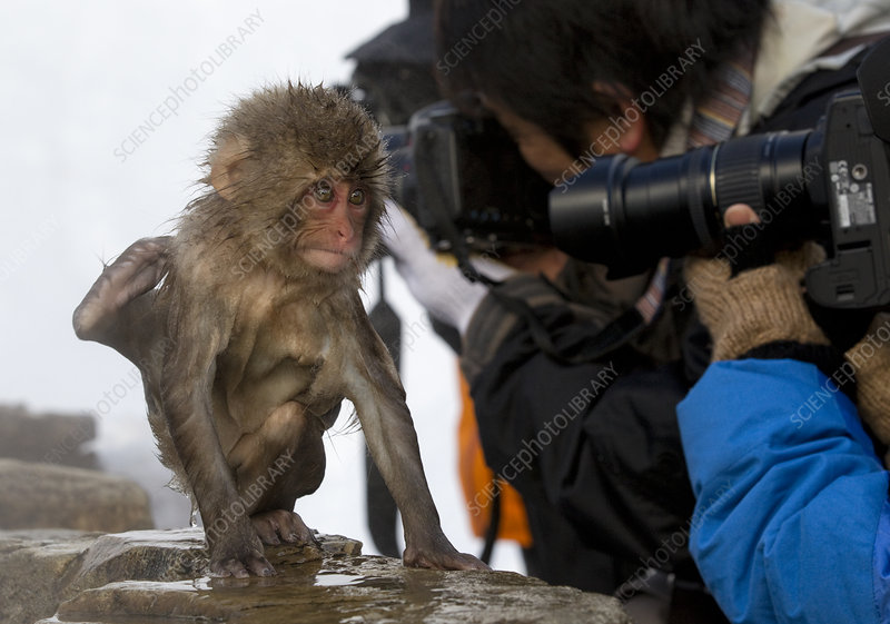 Japanese Macaque juvenile doing tricks for photographers