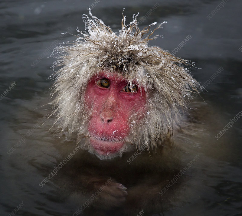 Japanese Macaque with icy strands of fur on its head