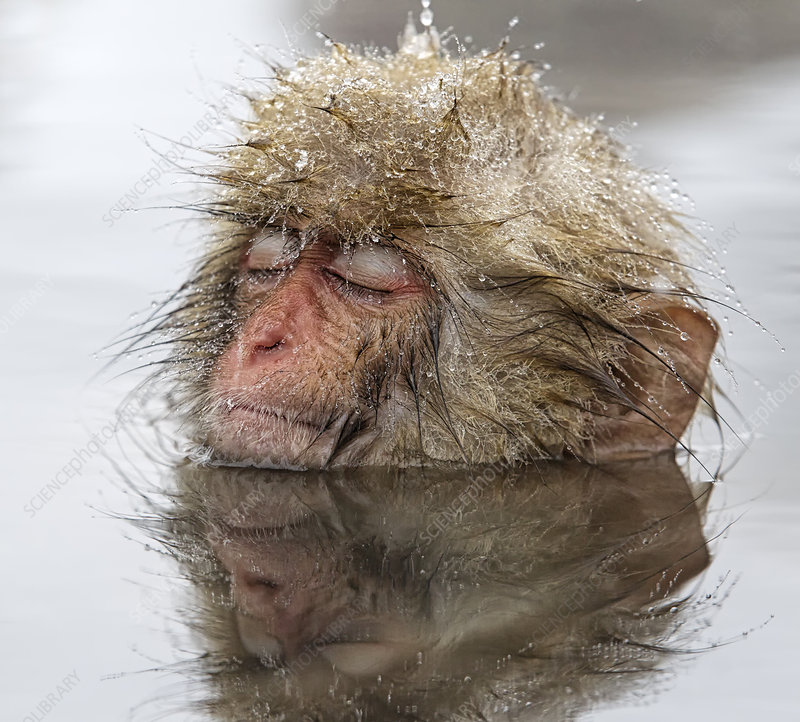 Japanese Macaque young relaxing in thermal pool