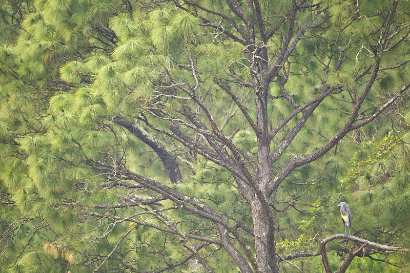 White-bellied Heron in tree, Punasangtchu, Bhutan