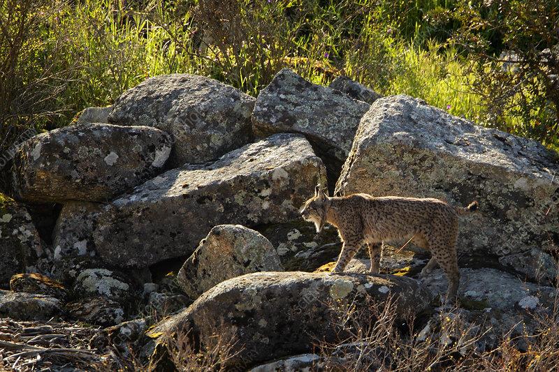 Wild Iberian Lynx male walking on rocks