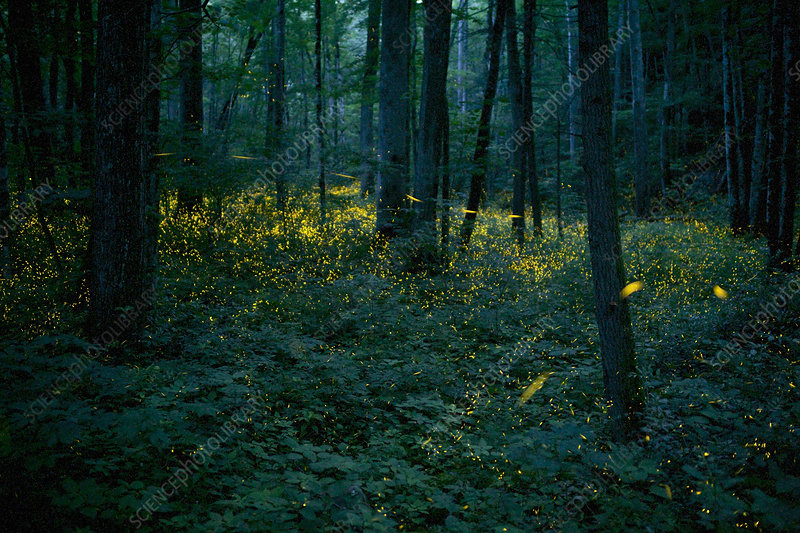 Syncronous Fireflies in forest