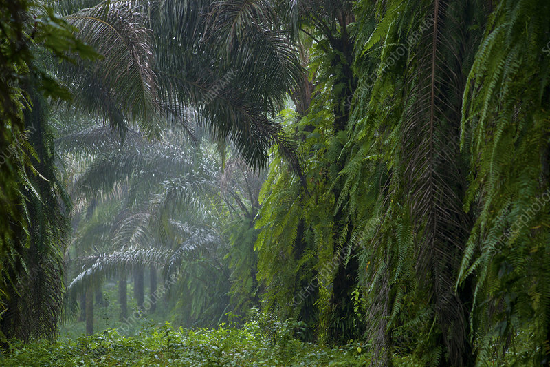 Old abandoned Oil Palm trees (Elaeis guineensis)