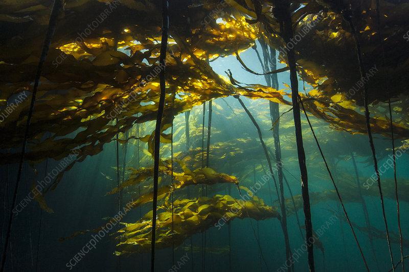 Bull kelp forest (Nereocystis luetkeana)