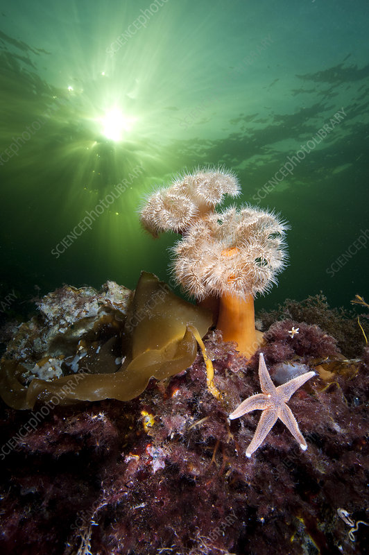 Plumose anemones and common starfish beneath the sun