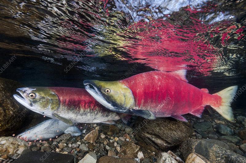 Female and male Sockeye salmon over eggs