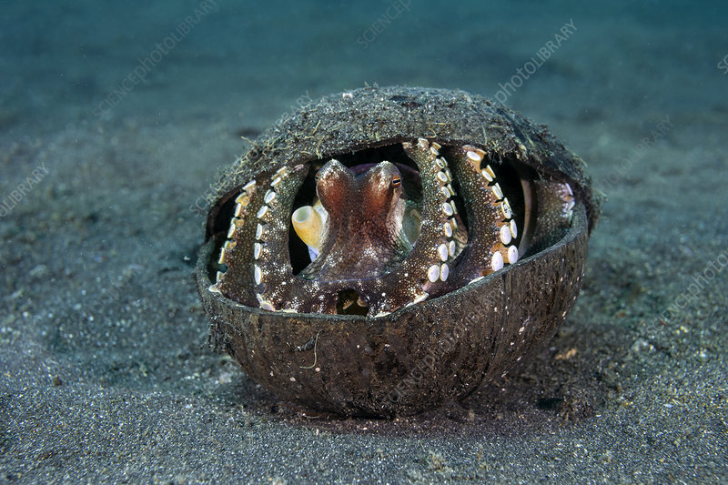 Veined octopus shelters in discarded coconut shell