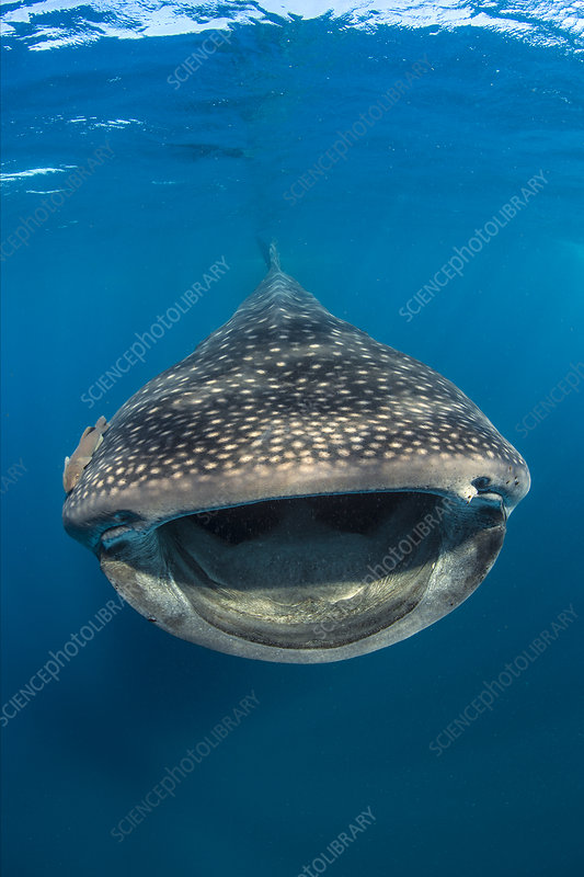 Whaleshark swimming and filtering fish eggs from the water
