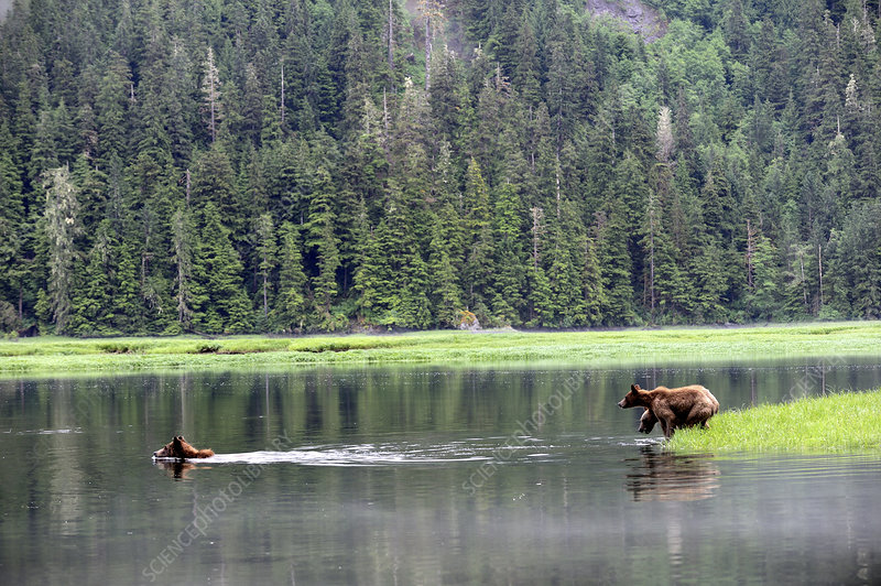 Female grizly bear crossing water followed by her two cubs