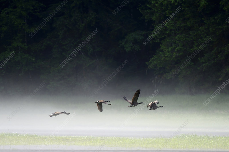 Canada geese flying over water
