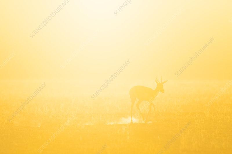 Springbok at dawn