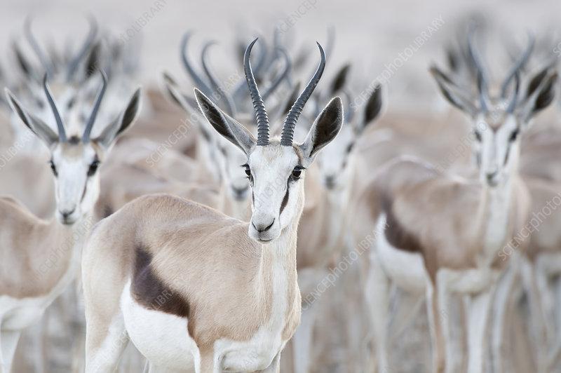 Springbok herd, Kgalagadi Transfrontier Park, South Africa