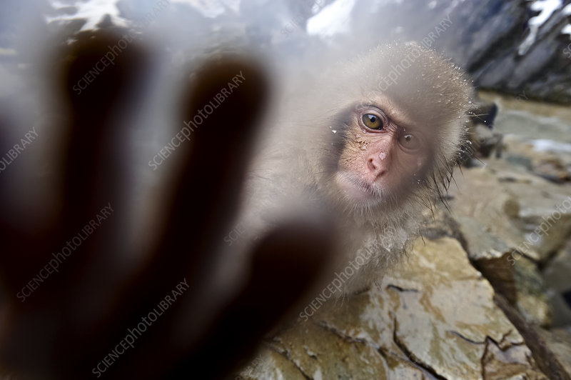 Japanese Macaque juvenile reaching out to touch the camera