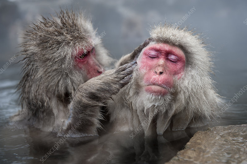 Japanese Macaques grooming in hot springs