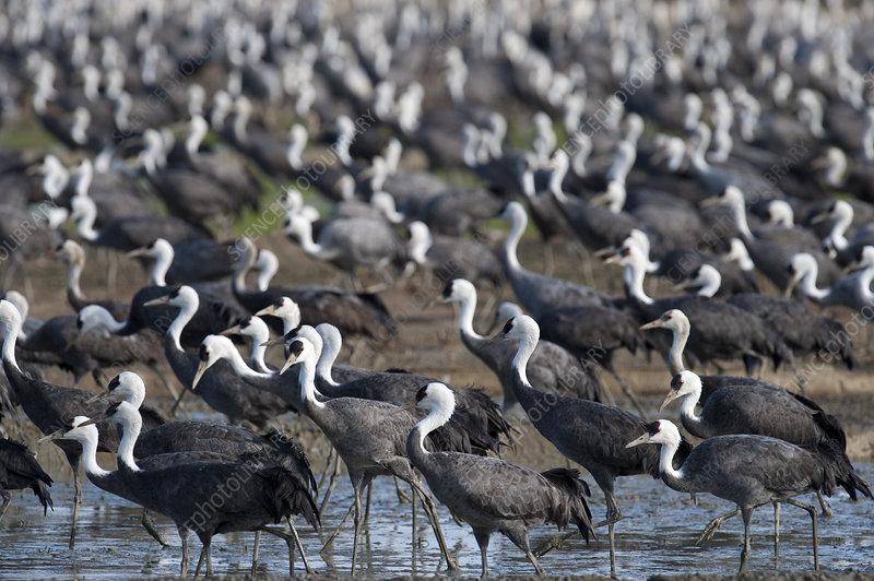 Flock of Hooded Cranes, Kyushu, Japan