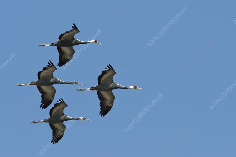 White naped cranes in flight, Kyushu, Japan