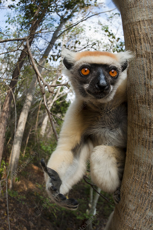Golden-crowned Sifaka