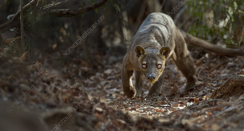 Adult male Fosa prowling on deciduous forest floor