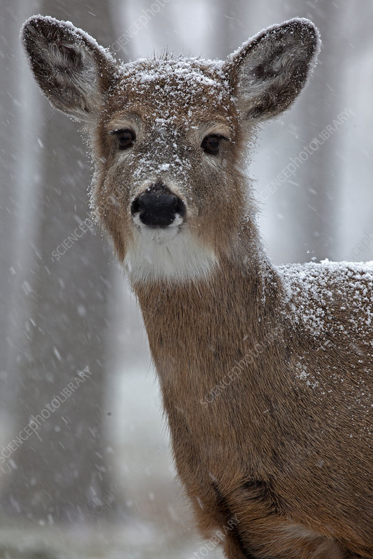 White-tailed deer in snow, New York, USA