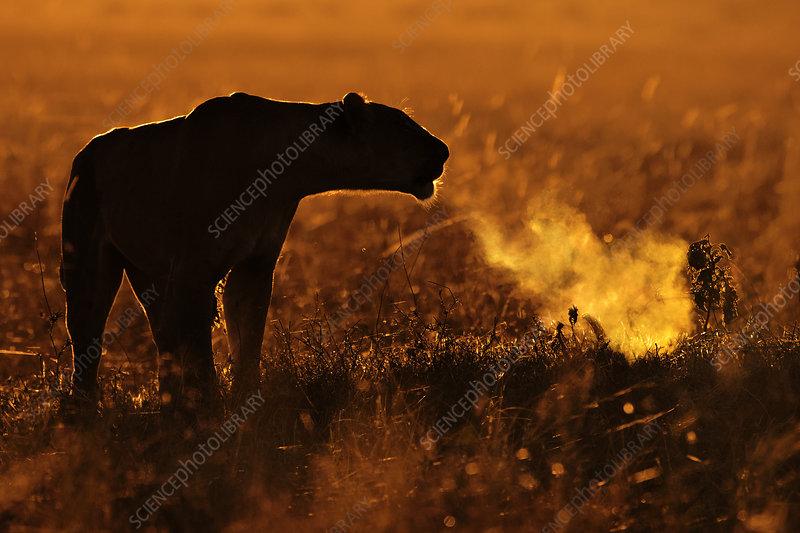 African Lion female calling at sunrise, Maasai Mara, Kenya