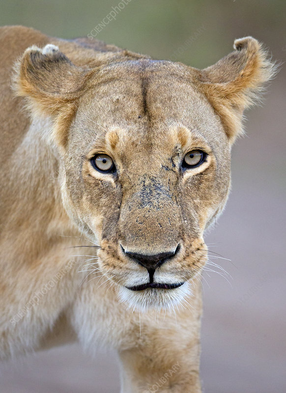 African Lioness with aggressive expression