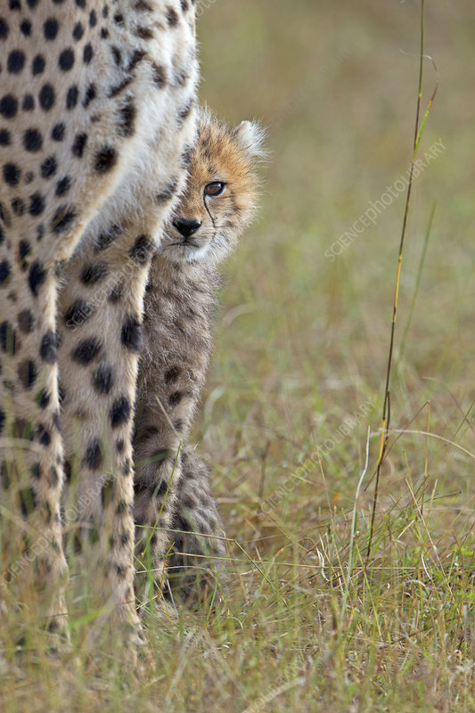 Cheetah cub looking around mother's legs