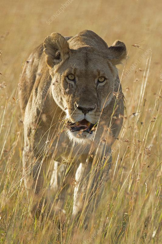 African Lion female stalking, Maasai Mara, Kenya