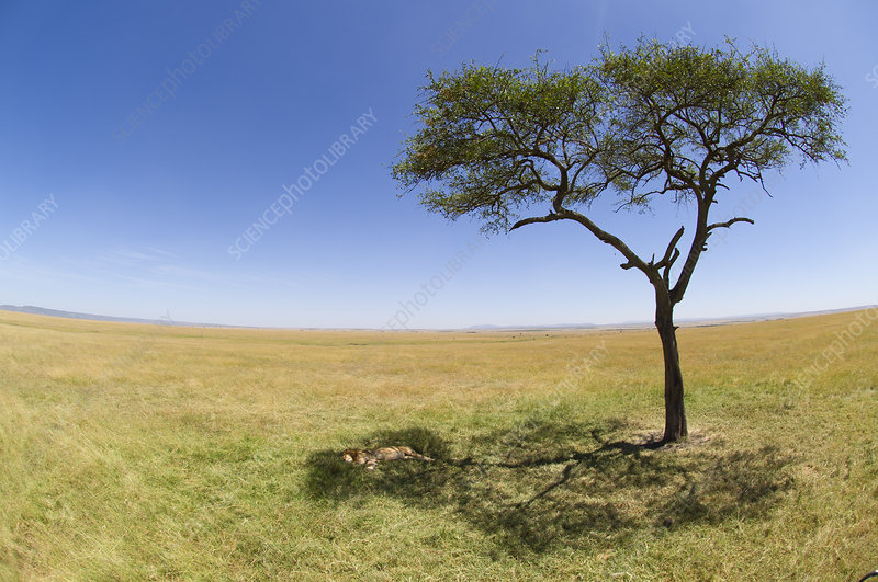 African Lion male sleeping in shade of a tree