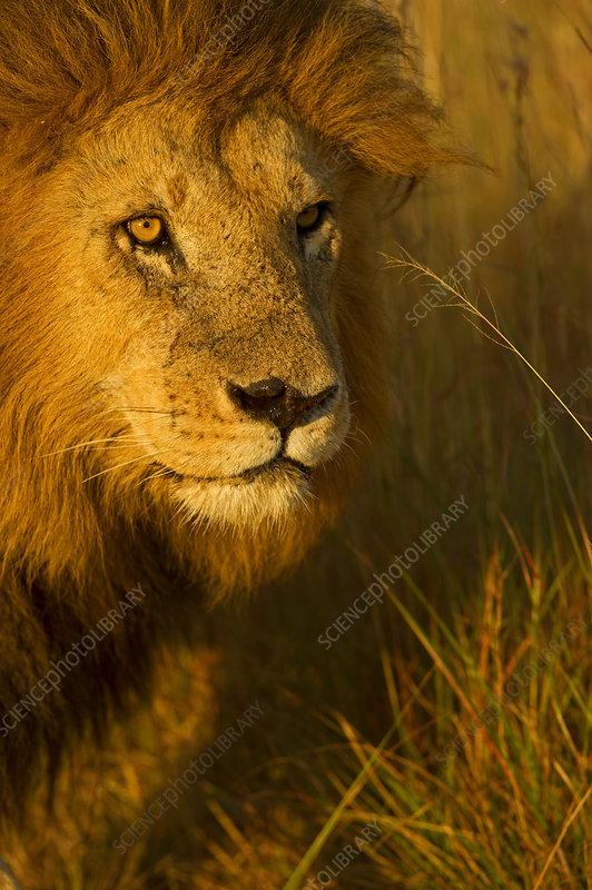African Lion male, Masai Mara, Kenya