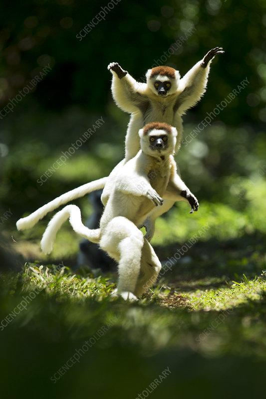 Verreaux Sifakas jumping across ground, Madagascar