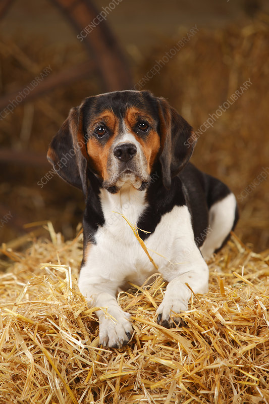 Beagle bitch resting on hay bale in straw