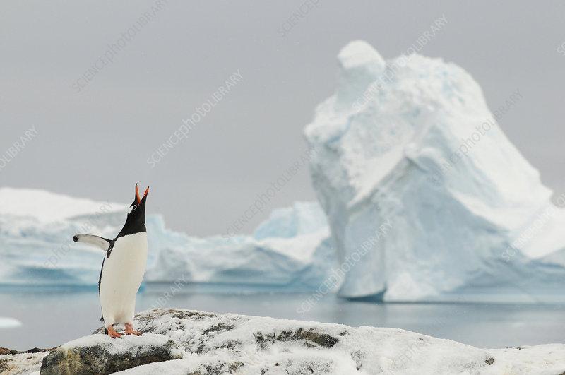 Gentoo penguins calling