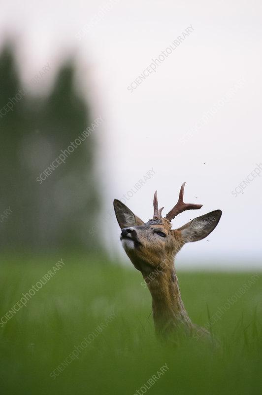 Roe deer buck in field sniffing air, Southern Estonia