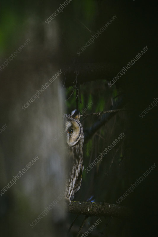 Female Long-eared owl peeking from behind a spruce tree
