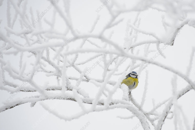 Blue tit perched on a frosty tree, Southern Estonia
