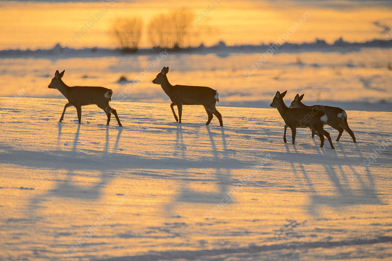 Herd of roe deer running on a snowy field at sunset