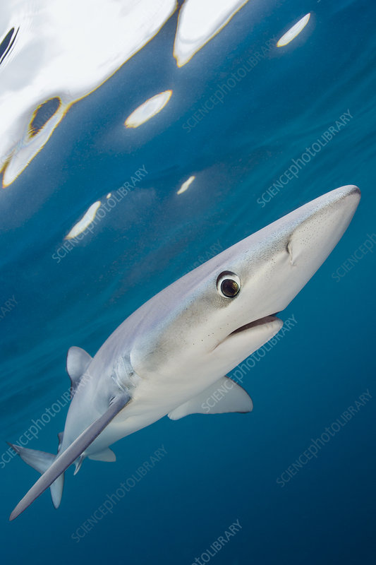 Blue shark swimming near the surface of the English Channel