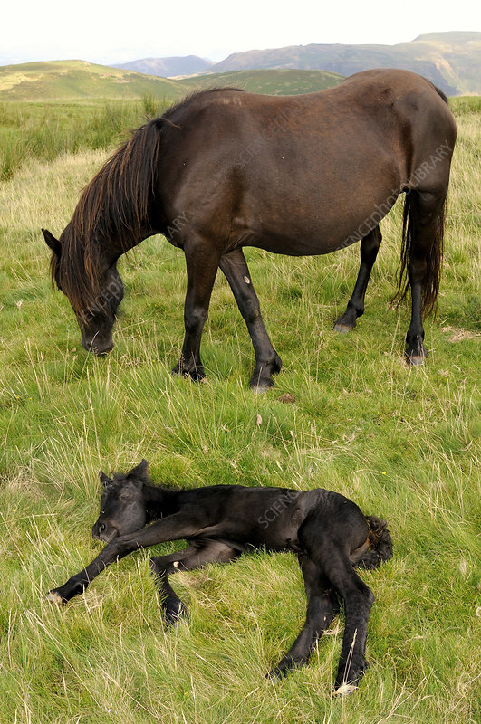 Merens horse mare with resting foal