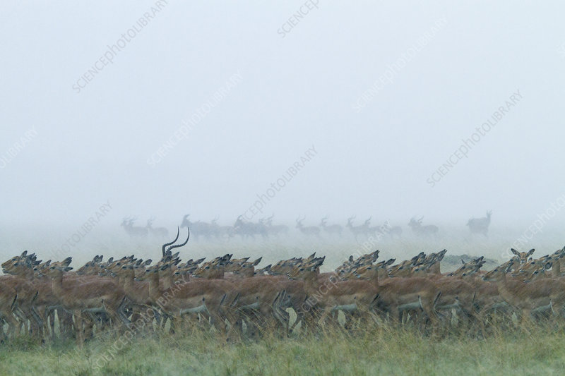 Impala herd in a storm, Masai-Mara Game Reserve, Kenya