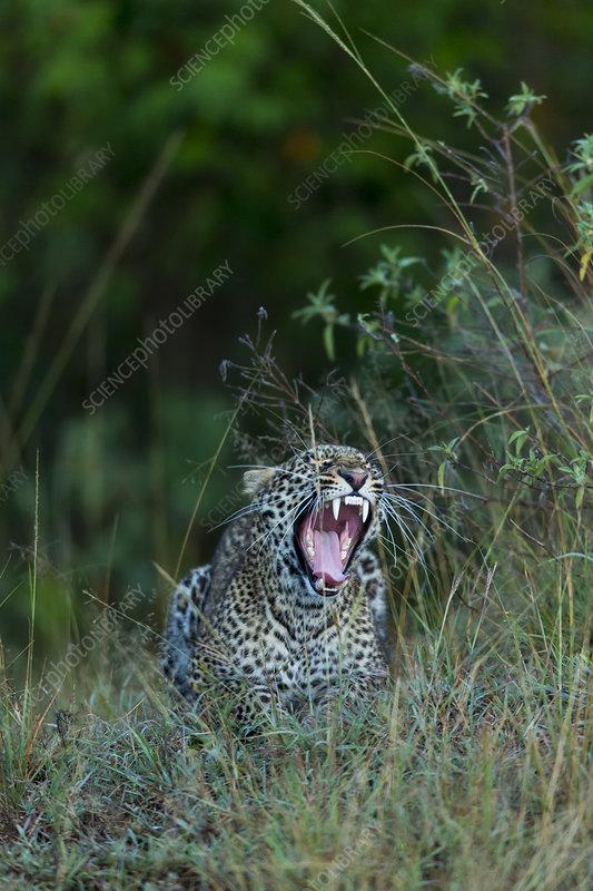 Leopard yawning, Masai-Mara Game Reserve, Kenya