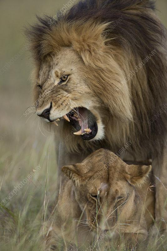 Lions mating, Masai-Mara Game Reserve, Kenya