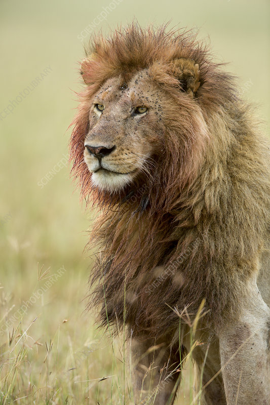 Lion male with bloody mane and flies,